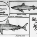 Why the man-eating sharks off Jersey coast? (1916)