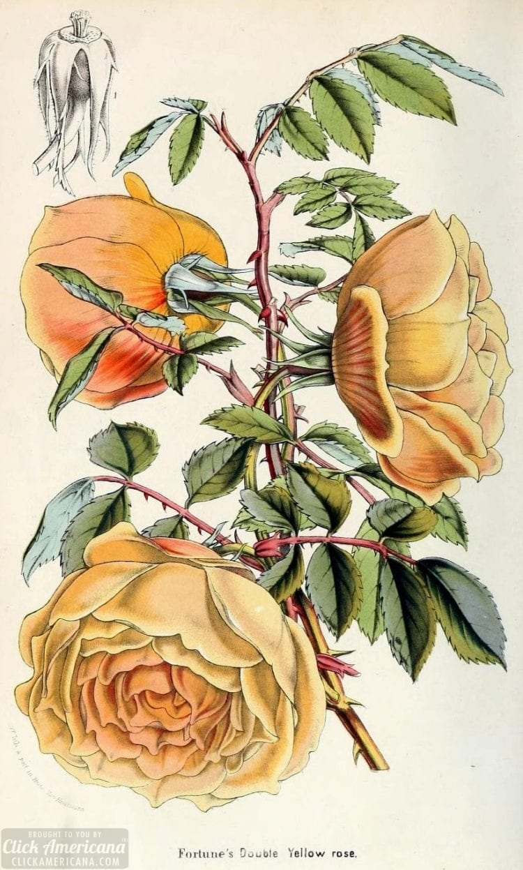 Antique floral botanical prints - flower meanings