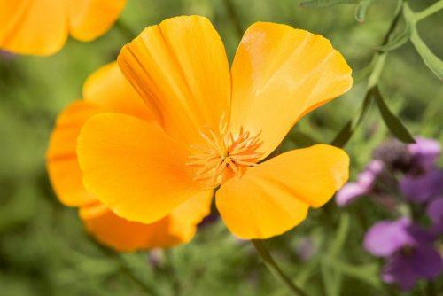 California Poppy - California's state flower