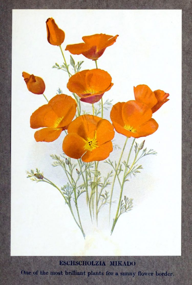 Eschscholzia flowers - California poppies - 1900s