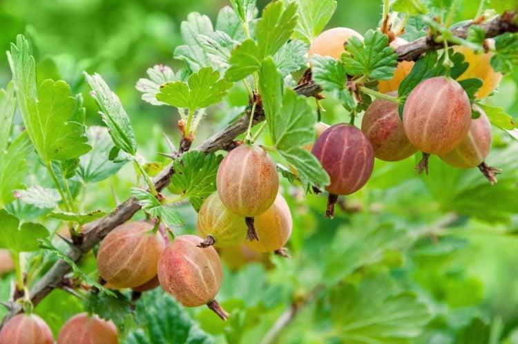 Gooseberries growing