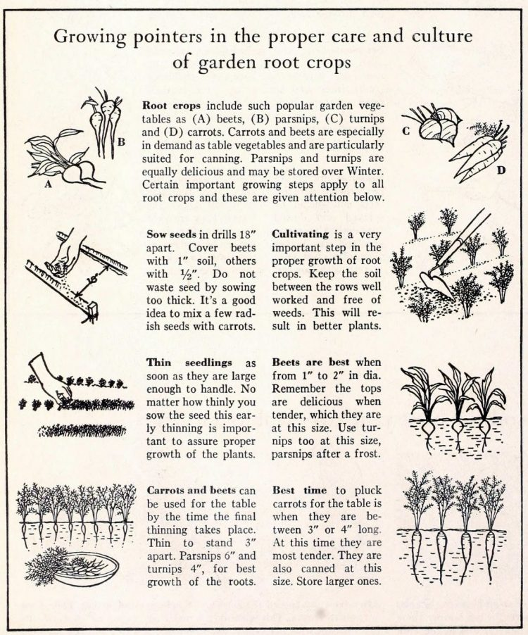 Growing pointers for Victory Garden root crops - 1942