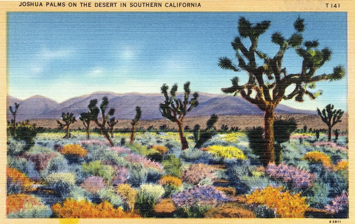 Joshua Palms - Joshua Trees in the Southern California desert - Vintage postcard from 1930s-1940s