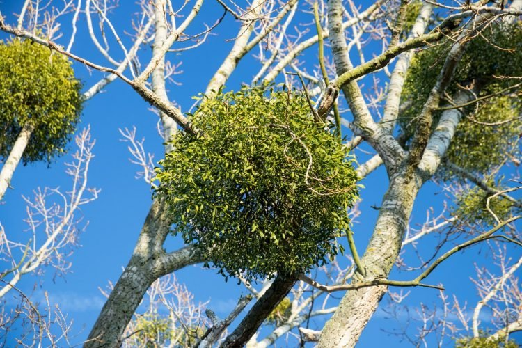 Mistletoe growing in a tree