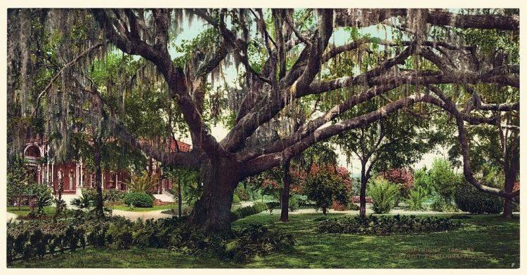 Old oak at Tampa Bay Hotel