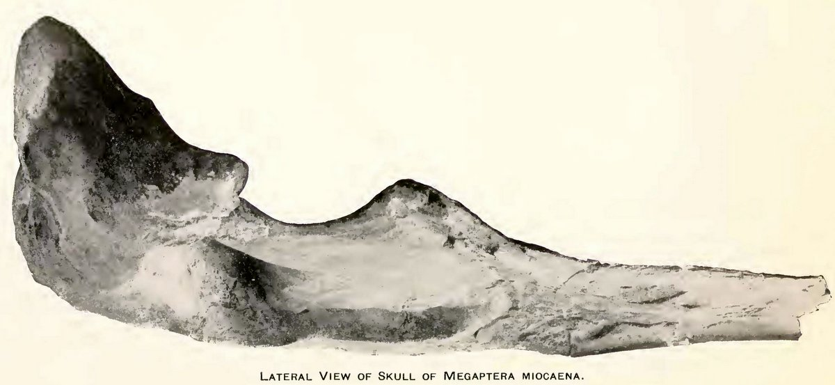 Skull of Megaptera miocaena, a fossil humpback whale from Lompoc (2)