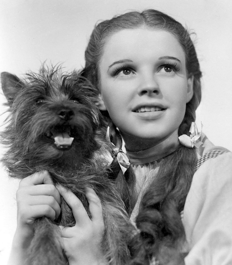 Terry as Toto in Wizard of Oz 1939