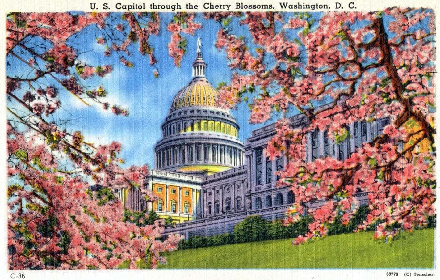 U. S. Capitol through the Cherry Blossoms, Washington, DC vintage postcard