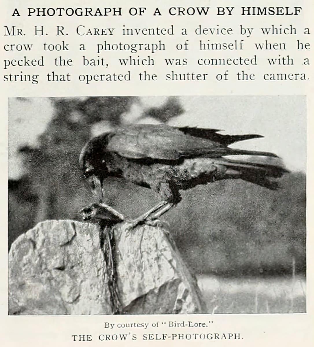 Vintage crow selfie from 1912 at ClickAmericana com