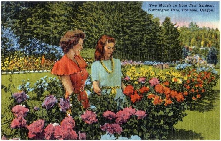 Vintage postcard Portland Oregon rose test gardens
