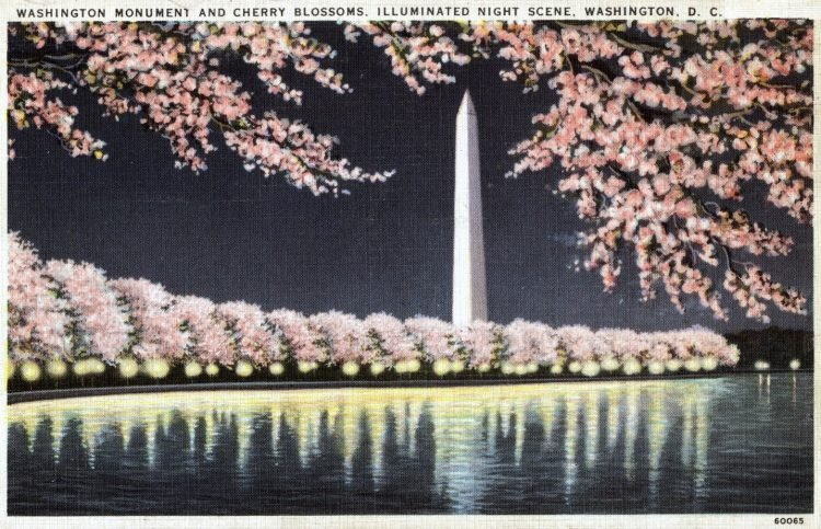 Washington Monument and Cherry Blossoms, illuminated night scene, Washington, DC vintage postcard