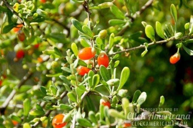 arizona-wolfberry-plant-spring-fruit