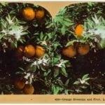 california-oranges-1897