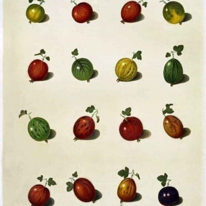 Gooseberry tarts (1967)