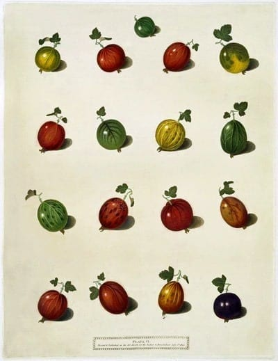 6 ways to preserve gooseberries (1919)